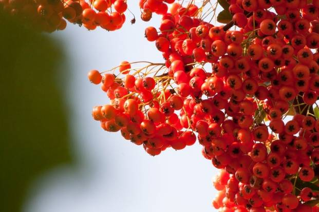 Red sea-buckthorn