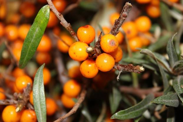 Yellow berries of sea buckthorn